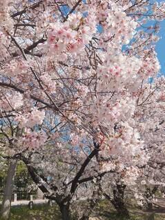 花,樹木,草木,さくら,ブルーム,ブロッサム