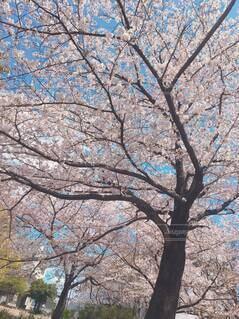 空,公園,花,春,屋外,樹木,草木,桜の花,さくら,ブロッサム,オーク