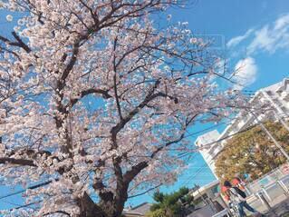 空,花,春,樹木,草木,桜の花,さくら,ブロッサム