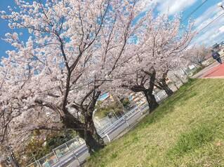 空,花,春,屋外,草,樹木,桜の花,さくら,ブロッサム