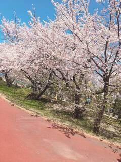 花,春,屋外,樹木,地面,桜の花,さくら,ブロッサム
