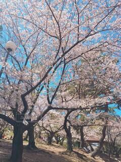 空,花,春,屋外,樹木,草木,桜の花,さくら