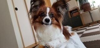 犬,動物,かわいい,茶色,パピヨン