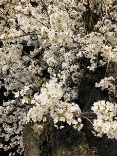 花,春,桜,屋外,夜桜,満開,草木,ブロッサム