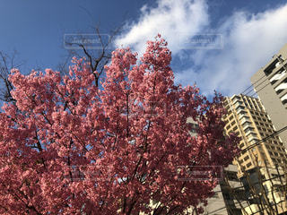 空,花,春,屋外,さくら