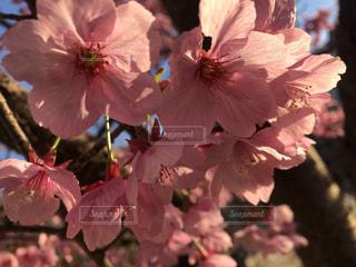 桜,ピンク,ブロッサム