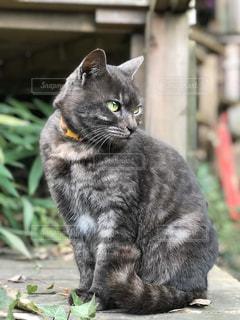 猫,美人,可愛い,グレー,広島,尾道,猫の道