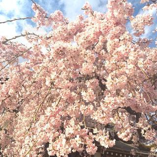 春,桜の花,さくら,ブロッサム