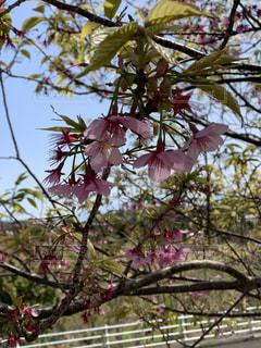 春,桜,屋外,樹木,お花見