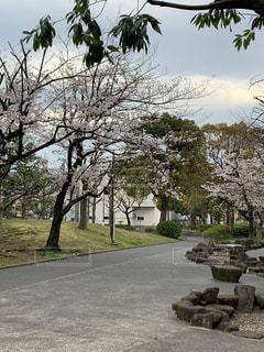 公園,桜,屋外,お花見