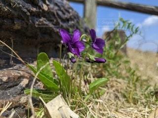 花,散歩,紫,草,草花,草木,スミレ