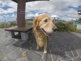 犬,空,動物,屋外,茶色,ゴープロ,ゴールデン ・ リトリーバー