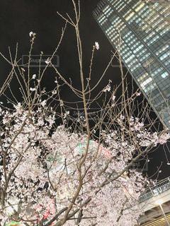 建物,花,桜,夜,夜景,ビル,夜桜,光,夜光,ホワイトベール