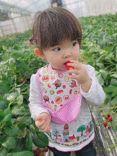 子ども,家族,モデル,風景,屋外,緑,赤,白,かわいい,いちご,人,ハウス,赤ちゃん,食べる,幼児,いちご狩り,美味しい,1歳児,インスタ映え,いちごだいすき