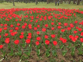公園,花,春,屋外,赤,チューリップ,鮮やか,草,草木