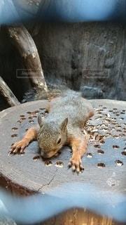 動物,かわいい,リス,寝転び