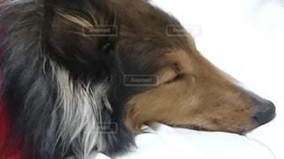 犬,動物,屋内,茶色,ペット,寝てる,頭