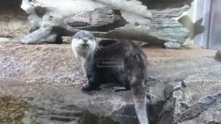 動物,かわいい,水族館,カワウソ