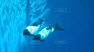 動物,イルカ,青,水族館,泳ぐ,水中,イロワケイルカ