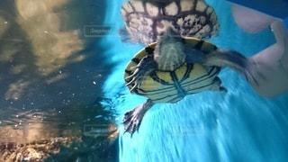 動物,水族館,水面,泳ぐ,カメ