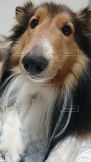 犬,動物,屋内,かわいい,ペット,見つめる,シェットランドシープドッグ