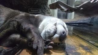 動物,屋内,水族館,寝る,顔,カワウソ