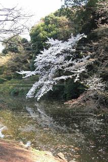 花,春,桜,木,水面,花見,花びら