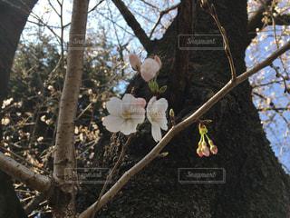 空,花,春,桜,木,花見,サクラ,お花見,イベント,蕾