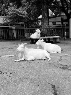 動物,屋外,ヤギ,黒と白