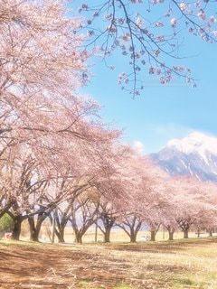 景色,並木,さくら