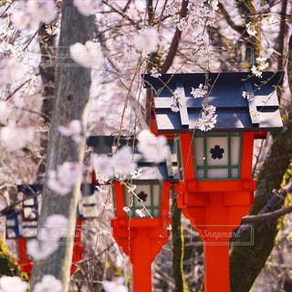 花,春,桜,屋外,ピンク,赤,しだれ桜,樹木,開花