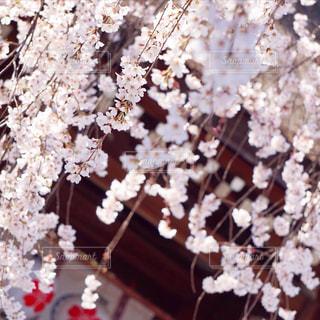 花,春,桜,ピンク,枝垂れ桜,桜の花,さくら,ブロッサム