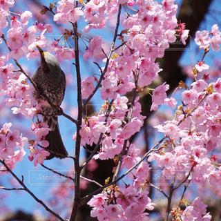 花,春,桜,鳥,ピンク,鮮やか,樹木,野鳥,草木,桜の花,さくら,ブロッサム