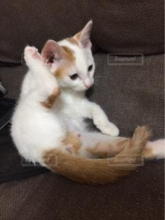 猫,動物,屋内,白,かわいい,床,ソファ