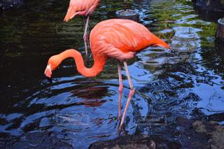 動物,鳥,屋外,湖,水面,池,泳ぐ,フラミンゴ,水鳥