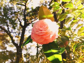 花,夕日,屋外,ピンク,バラ,葉,椿,樹木,草木