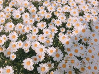 花,春,花畑,白,マーガレット,黄色