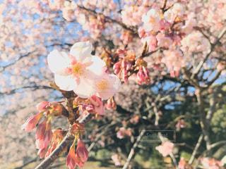 花,春,桜,木,ピンク,青空,茶色,花見,景色,鮮やか,お花見,イベント,草木,桜の花,さくら,ブルーム,ブロッサム,桜フォト