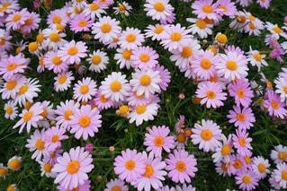 風景,花,春,ピンク,緑,白,マーガレット,黄色,景色,草木