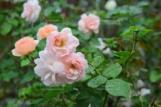 花,雨,屋外,ピンク,緑,バラ,花びら,草,雨上がり,しずく,草木