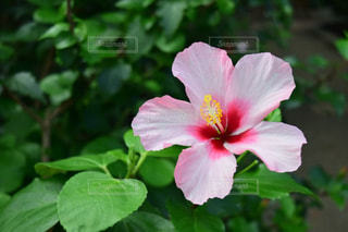 花,屋外,ピンク,緑,ハイビスカス,花びら,草木,フローラ