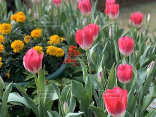 風景,花,春,ピンク,お花,チューリップ,鮮やか,草木,おはな,配置,フローラ,咲いてる