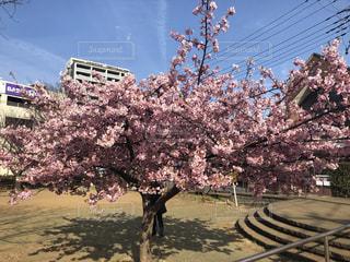 花,春,屋外,梅,桜の花,さくら,ブロッサム