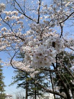 花,春,桜,花見,花びら,樹木,さくら,ブルーム,ブロッサム,桜の花びら