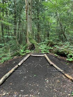 森の中の木の写真・画像素材[3142377]
