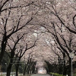 花,春,樹木,桜の花,さくら,桜のトンネル