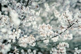 花,春,景色,樹木,草木,桜の花,さくら,ブロッサム