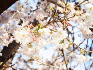 花,春,ピンク,白,枝,桃,草木,桜の花,さくら,陽気,日和,ブロッサム,陽