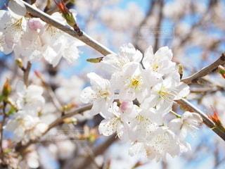 花,春,ピンク,白,樹木,出会い,草木,さくら,陽気,日和,ブルーム,ブロッサム