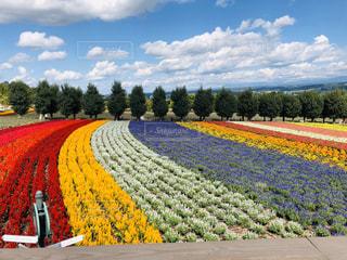 富良野の花畑の写真・画像素材[3060068]